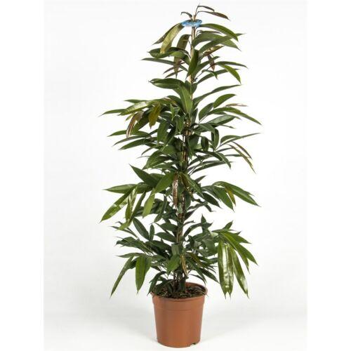 ficus longifolia 90 cm