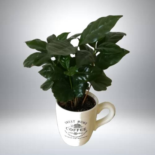Kávécserje kaspóban