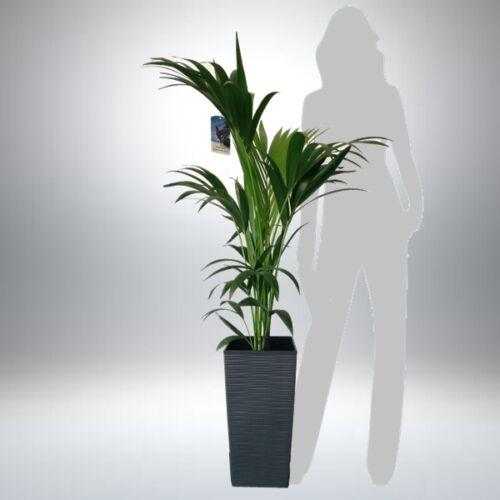 Kentia pálma kaspóban 130-140 cm
