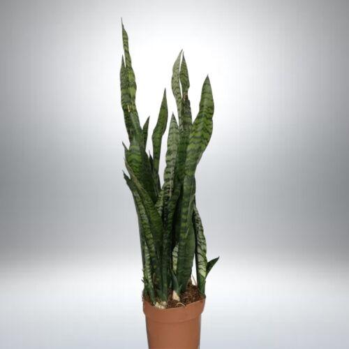 Anyósnyelv, Sansaveria 80 cm II. oszt.